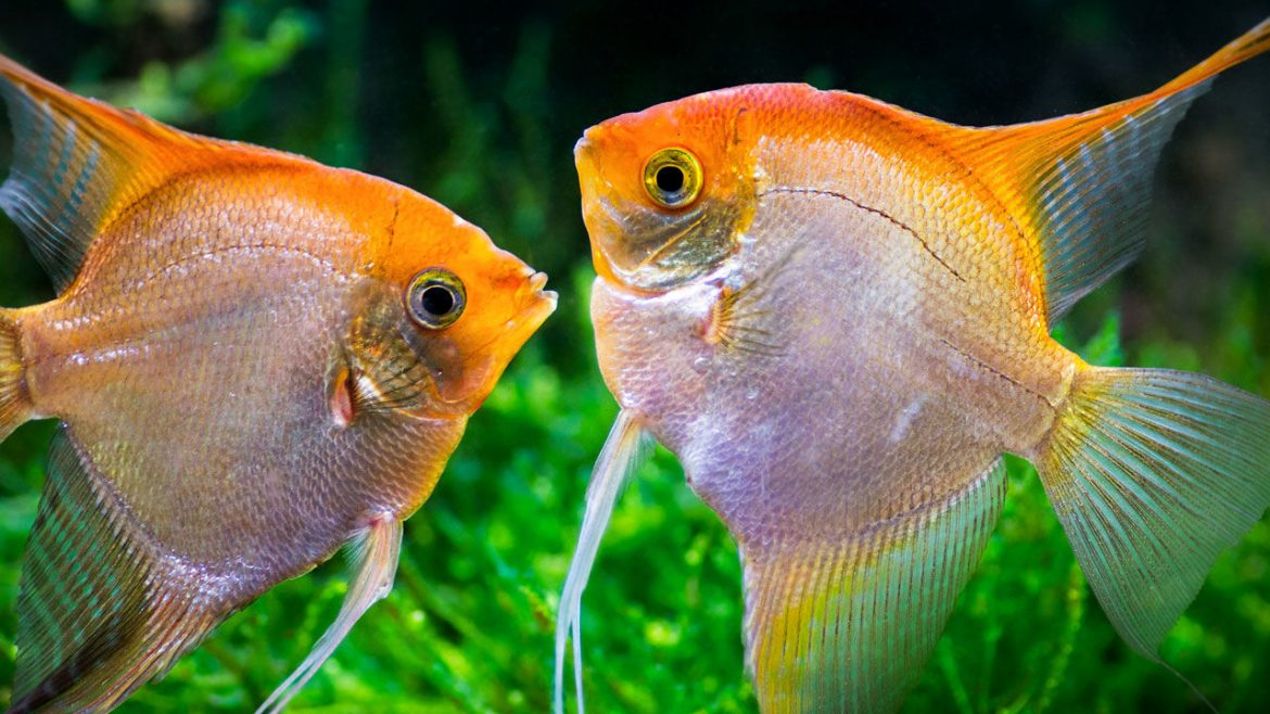 Ways How to Stop Angel Fish Bullying